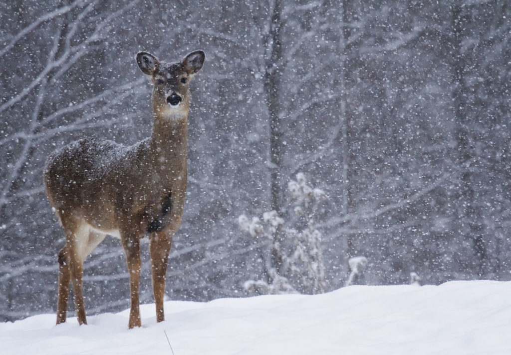 Whitetail deer in Wisconsin